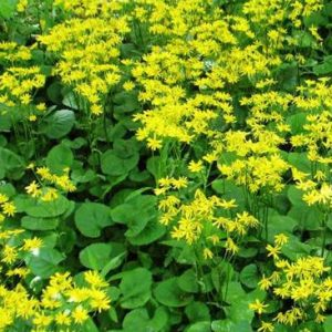 PERENNIAL PLUGS & BARE-ROOT GROUNDCOVER